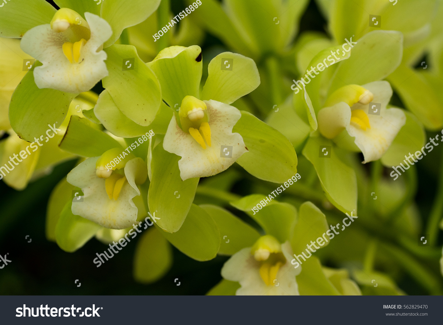 The very beautiful petals and color of big CYMBIDIUM orchid\'s ...