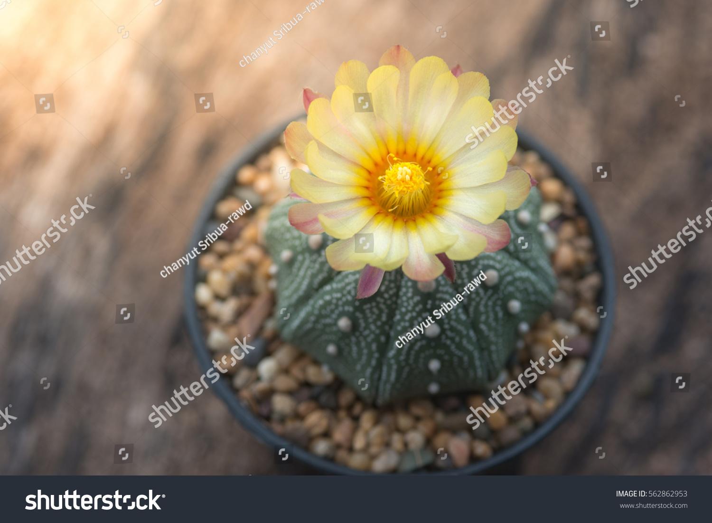 Astrophytum Asterias Cactus Yellow Flower Stock Photo Edit Now