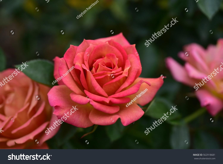 Pink Red Rose Flower Close Up Ez Canvas