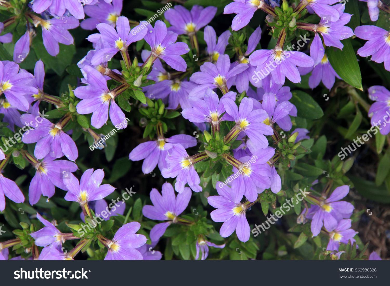 Scaevola aemula aussie crawl fan flower stock photo edit now scaevola aemula aussie crawl fan flower hardy mound forming ground cover with blue mauve izmirmasajfo