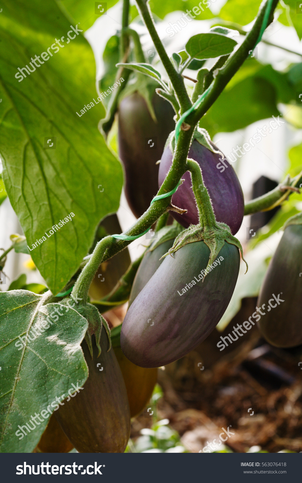Eggplant in the greenhouse: growing and care 7