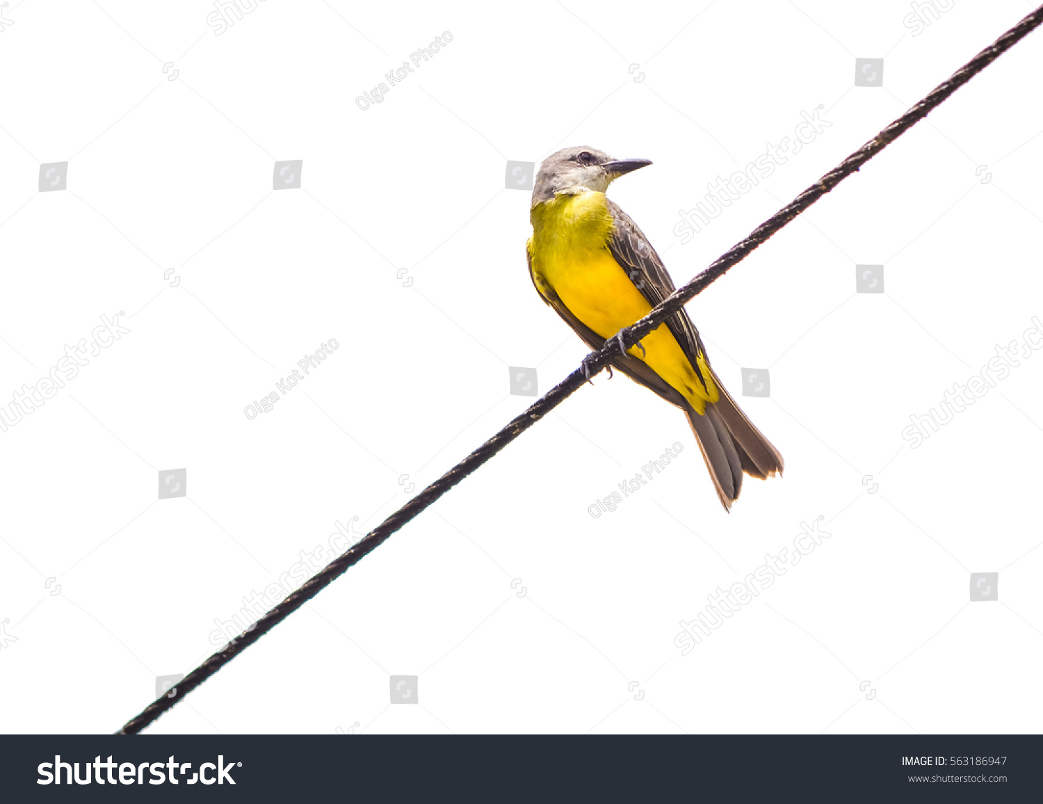 Cute Yellow Bird On Wire Isolated Stock Photo & Image (Royalty-Free ...