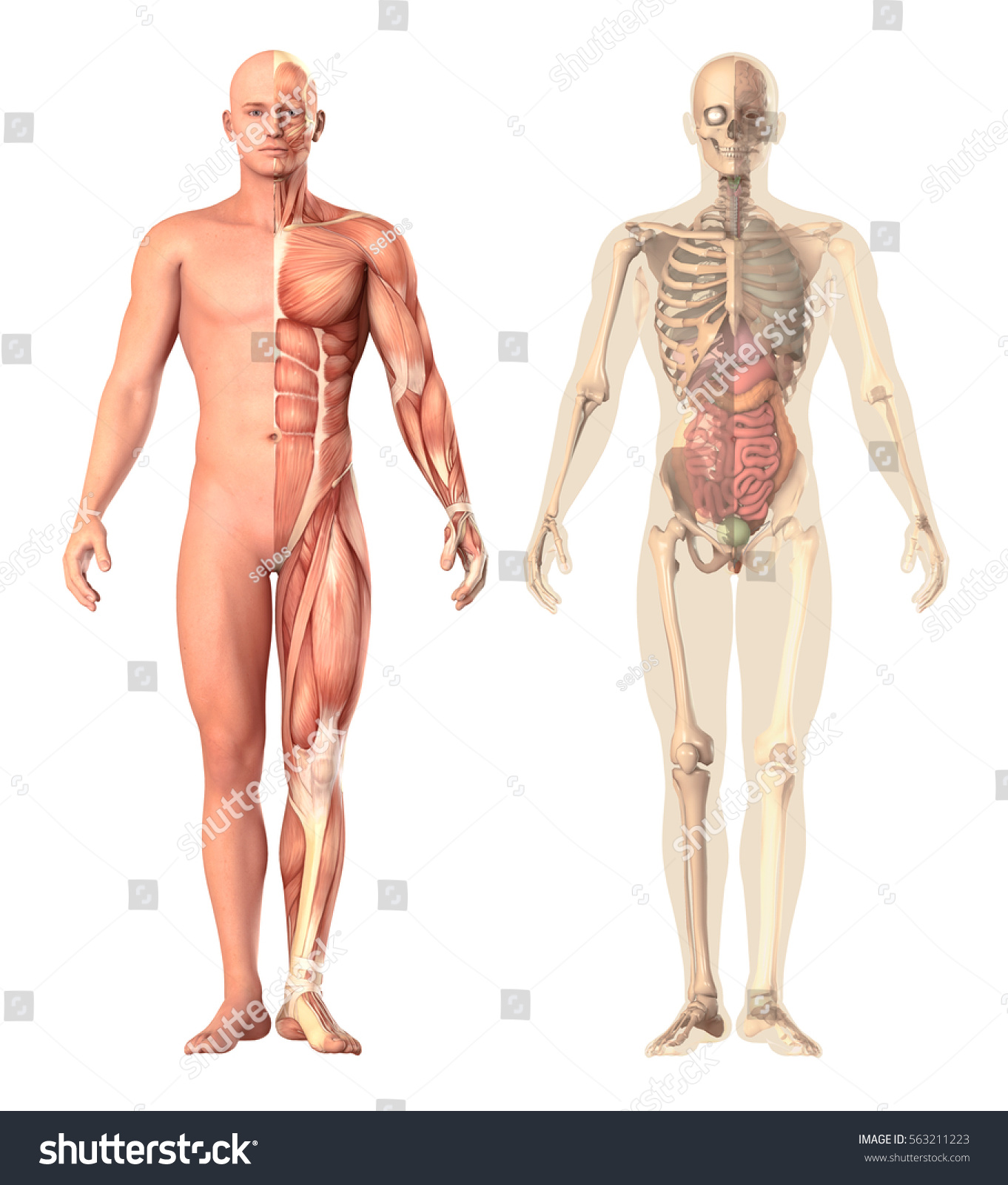 Medical Illustration Human Anatomy Transparency View Stock