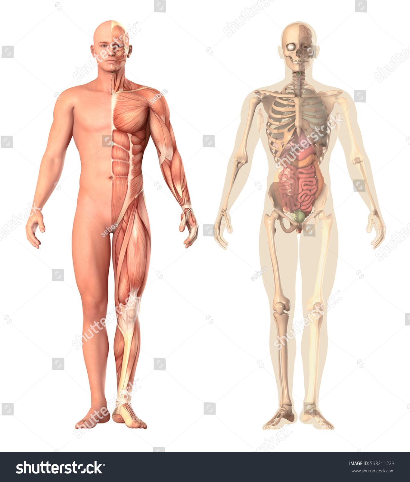 Medical Illustration Human Anatomy Transparency View Stock