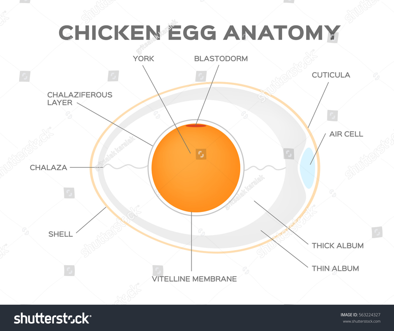 Chicken Egg Anatomy Vector Stock Vector Royalty Free 563224327