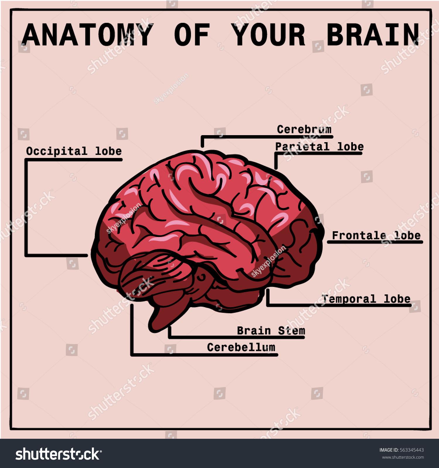 Hypothalamus infographic image. Detailed anatomy of the human brain ...