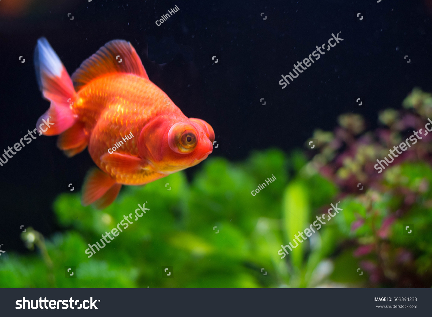 Red Butterfly Moor Goldfish Stock Photo (Royalty Free) 563394238 ...