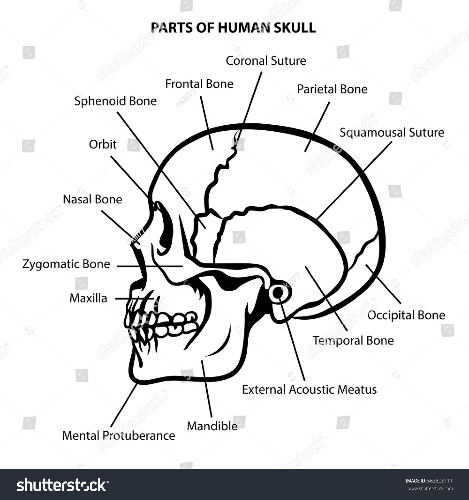 SKULL ANATOMY OUTLINE VECTOR Stock Vector HD (Royalty Free ...