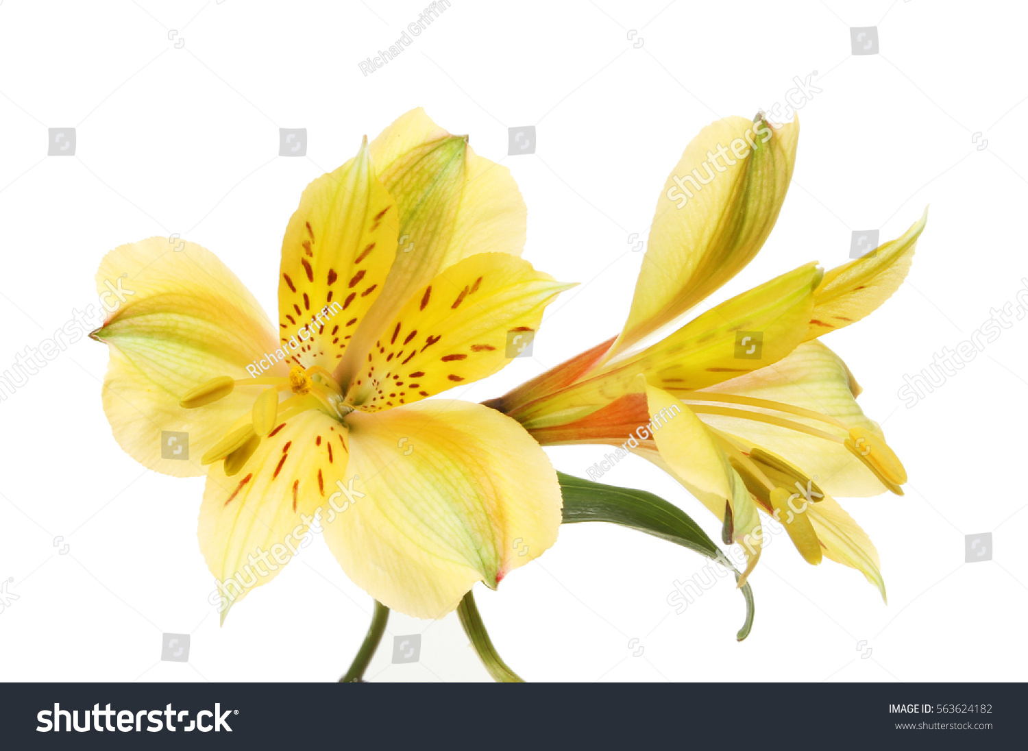 Two yellow alstroemeria peruvian lily flowers stock photo royalty two yellow alstroemeria peruvian lily flowers isolated against white izmirmasajfo Gallery