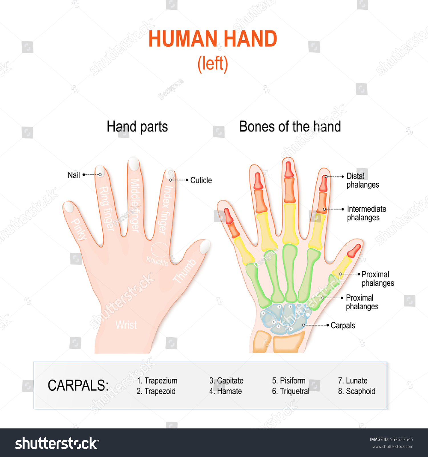Human Hand Parts Bones Left Hand Stock Vector Royalty Free