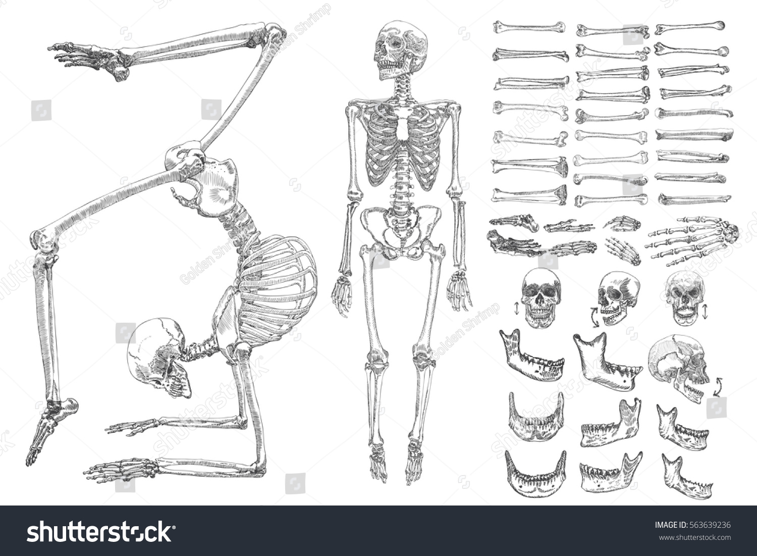 Human Anatomy Drawing Monochrome Set Skeletons Stock Vector Royalty