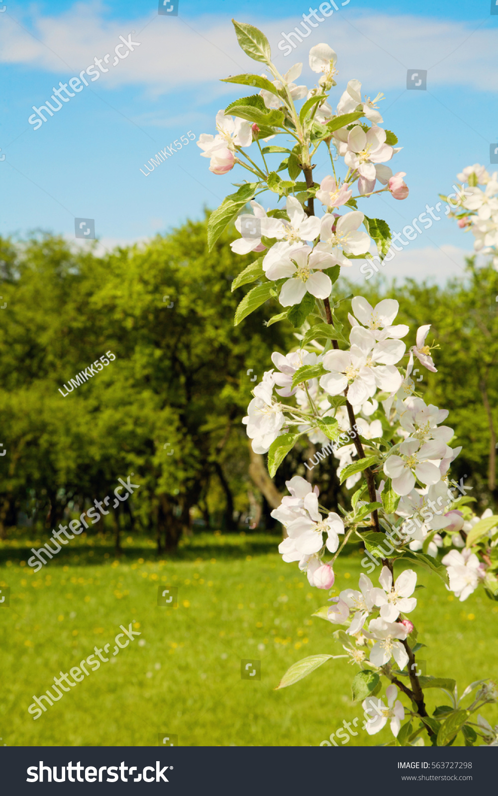 White Blooming Branch Of Apple Tree Closeup On A Sunny Spring Day With Selective Focus Springtime Colorful Nature Vertical Wallpaper Stock Photo