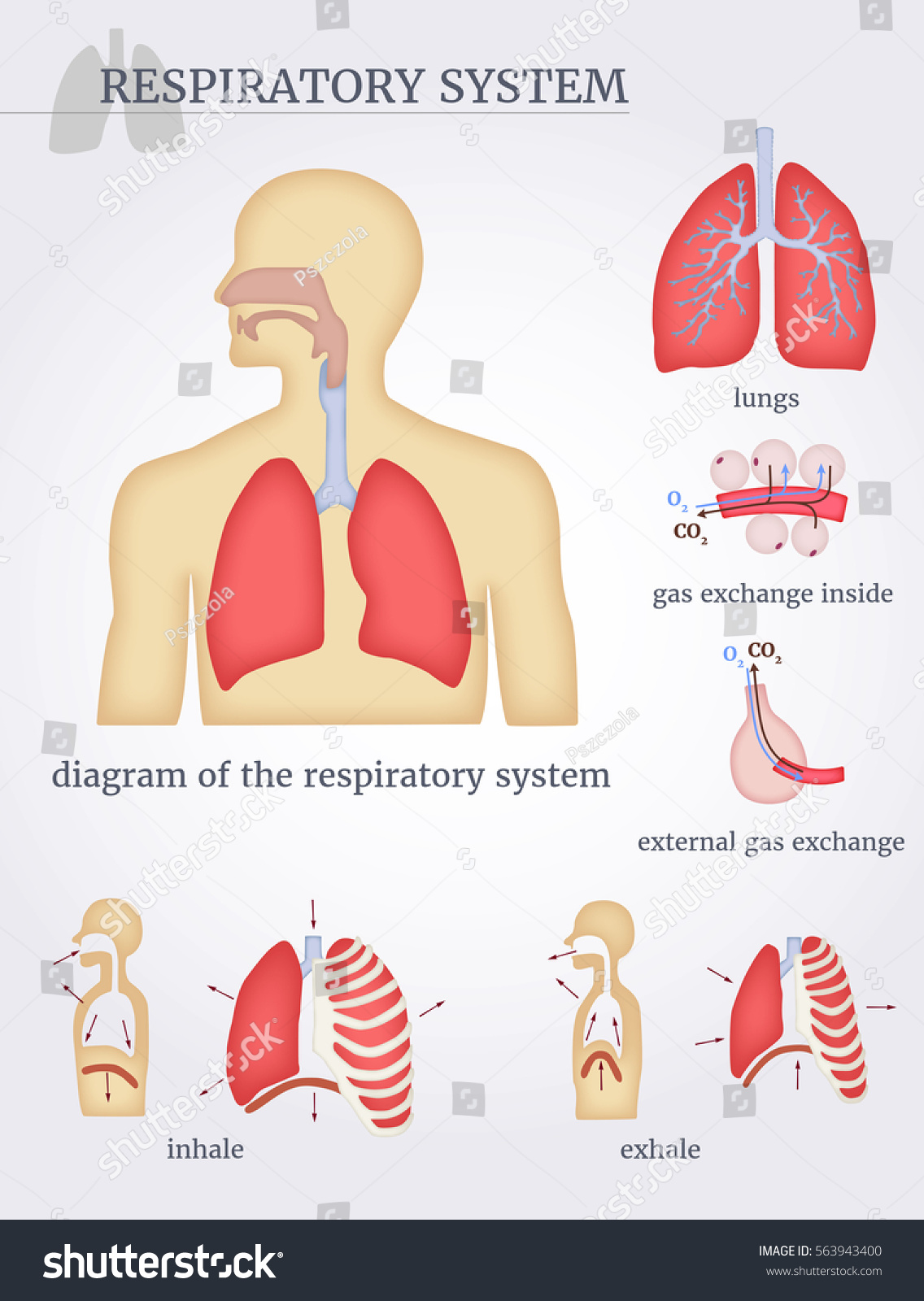 Respiratory system diagram respiratory system lungs em vetor stock respiratory system diagram of the respiratory system with lungs inside gas exchange external ccuart Choice Image