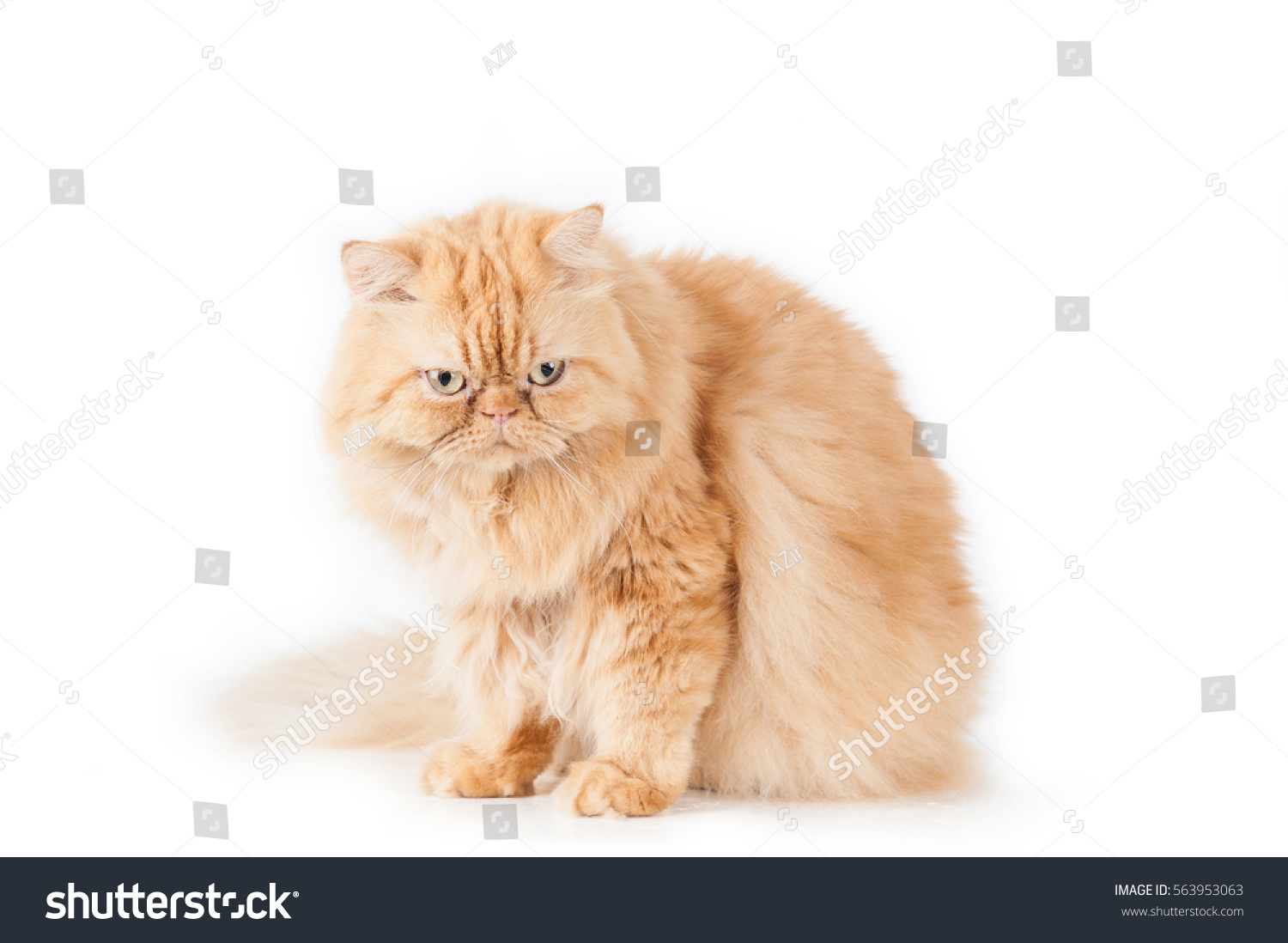 Cat Orange Persian Cat White Stock Shutterstock