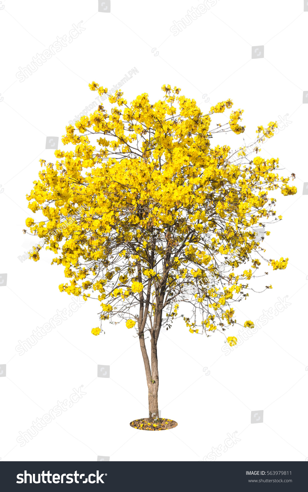 Golden tree yellow flowers tree tabebuia stock photo edit now golden tree yellow flowers tree tabebuia isolated on white background tropical trees isolated mightylinksfo