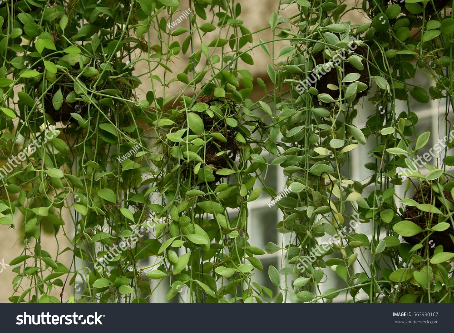 Green creeper plant background #563990167