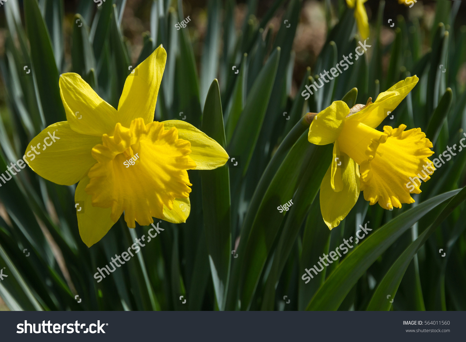 Yellow Flowers Of Daffodils In Garden In Spring Ez Canvas