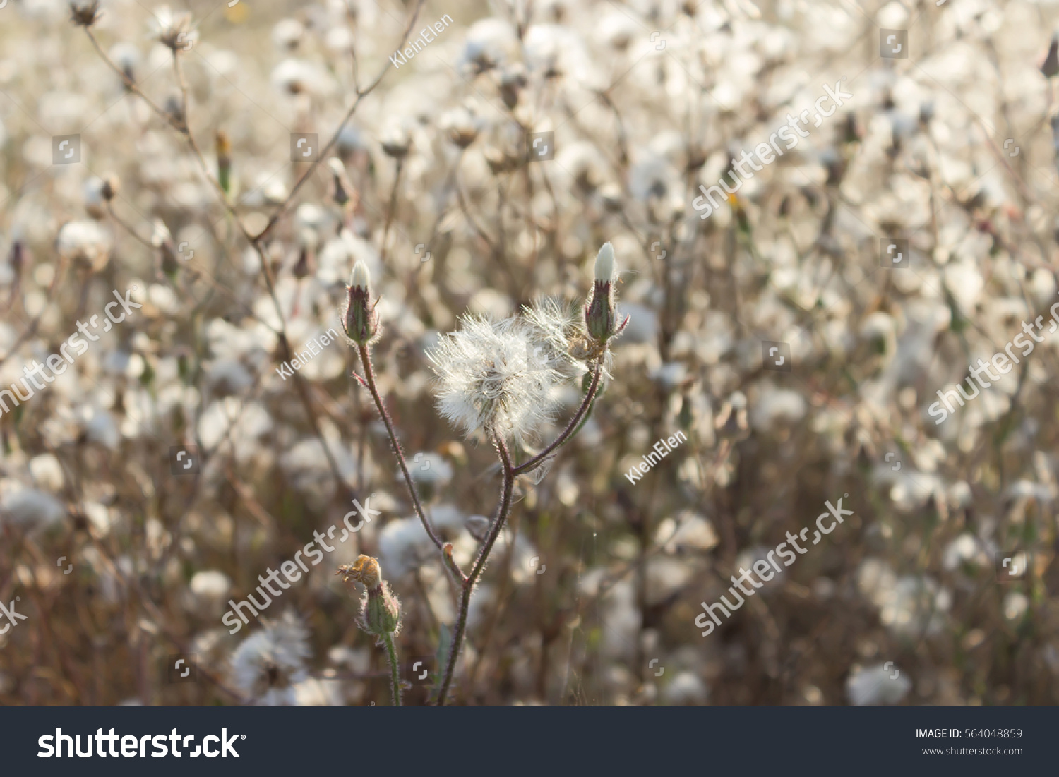 Fluffy sow thistle, hare thistle, seed heads, natural background #564048859