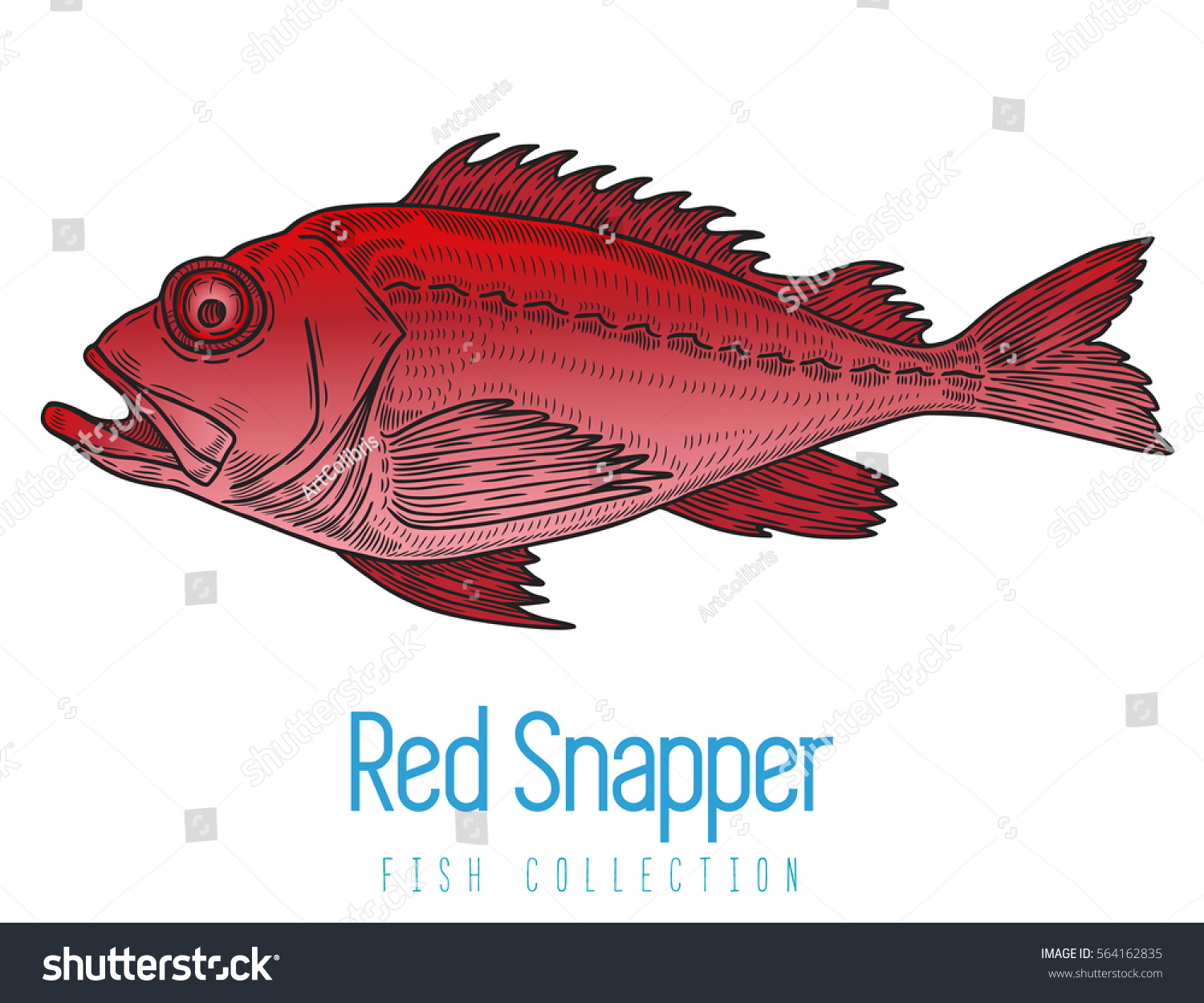 Red Snapper Color Fish Vector Illustration Stock Vector HD (Royalty ...