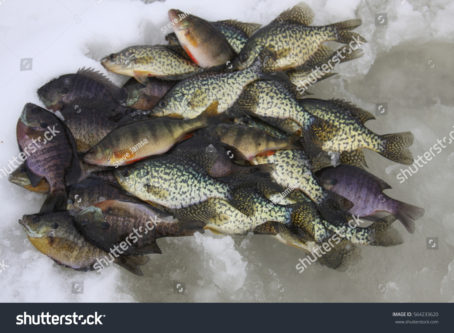 Crappie perch bluegill on ice stock photo 564233620 for Ice fishing bluegill