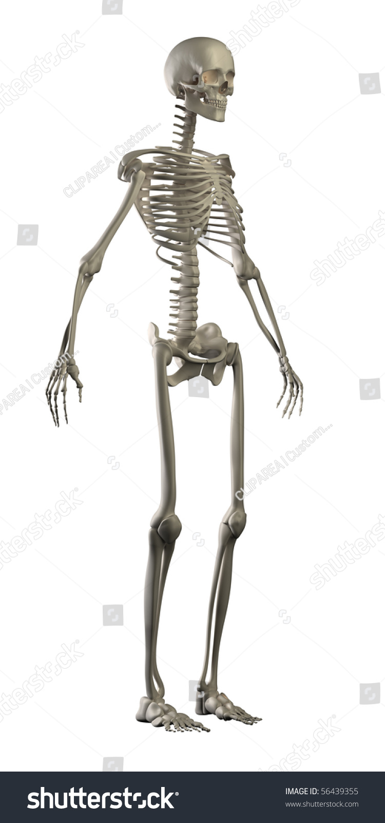 Royalty Free Stock Illustration Of Human Skeleton Isolated Side View