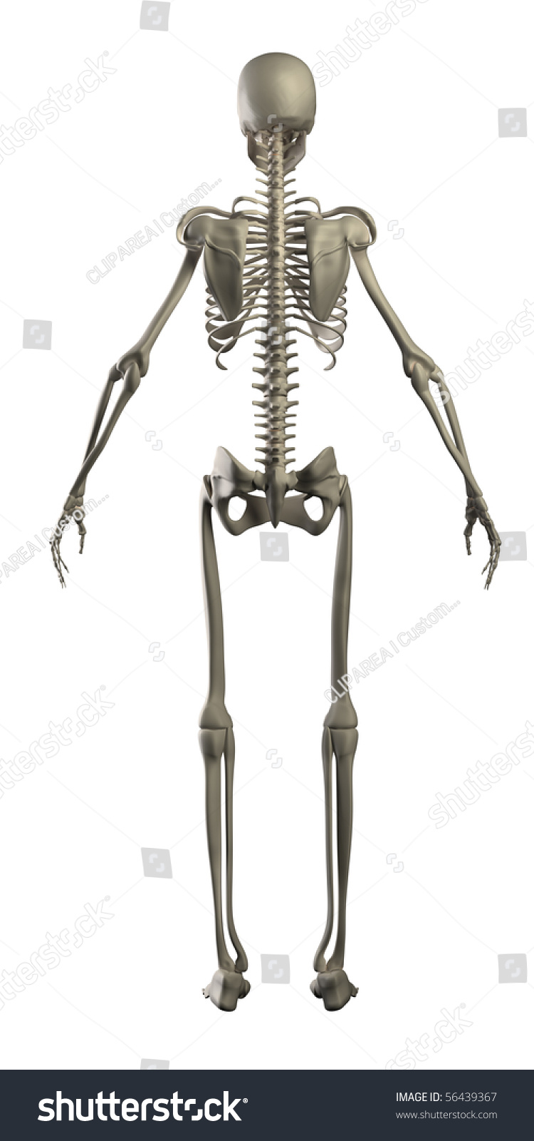 human skeleton isolated rear view stock illustration 56439367, Skeleton