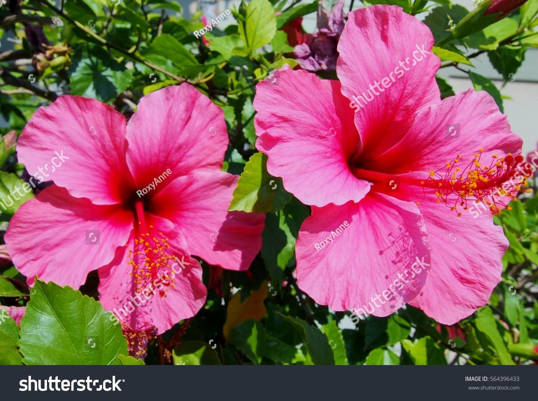 Pink Petunia Flower Ez Canvas