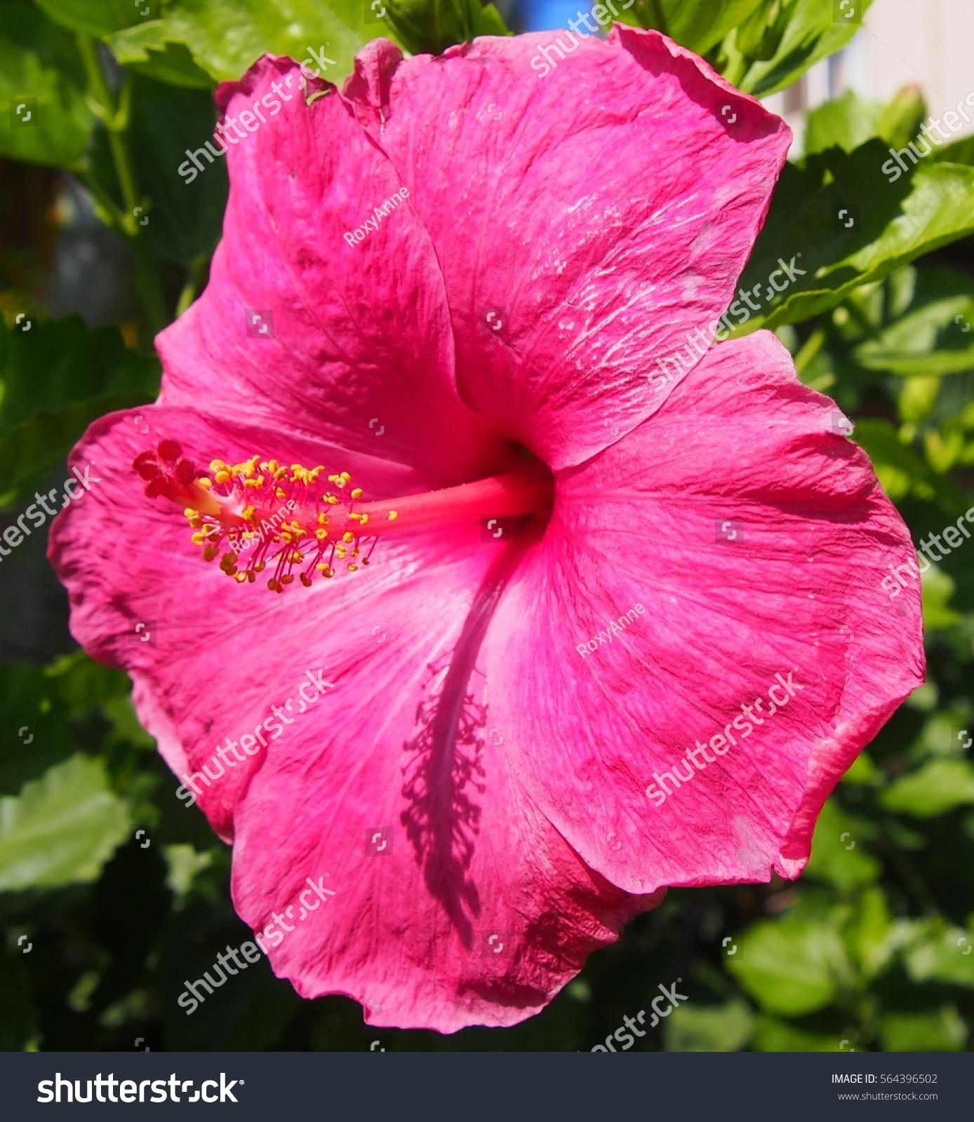 Hawaiian Flowers Stock Photo Royalty Free 564396502 Shutterstock