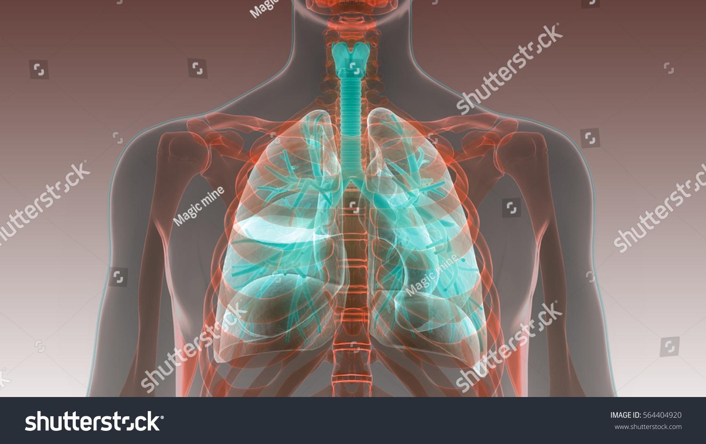 Human Body Organs Lungs Anatomy 3 D Stockillustration 564404920