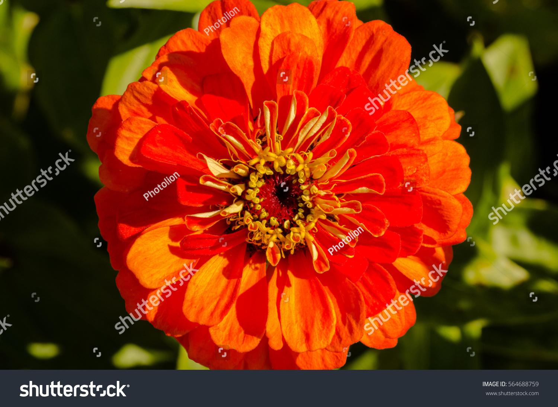 Large Orange Yellow Zinnia Flower Black Stock Photo Edit Now
