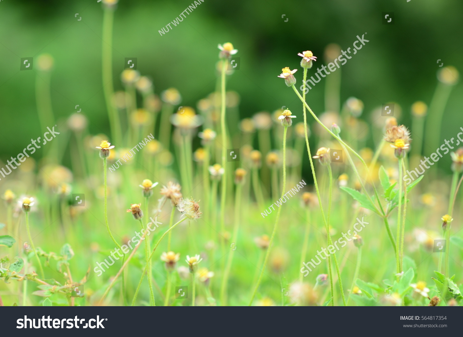 Grass Yellow Flowers And With White Petals And Blurred Background