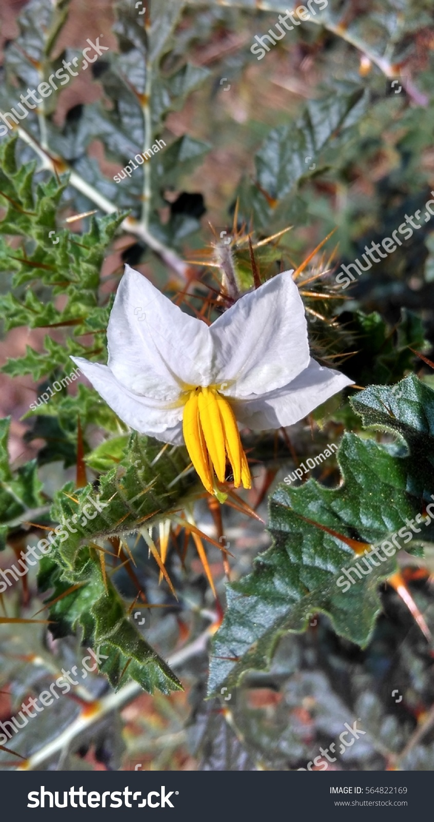 Isolated White Yellow Flower Prickly Weed Stock Photo Edit Now