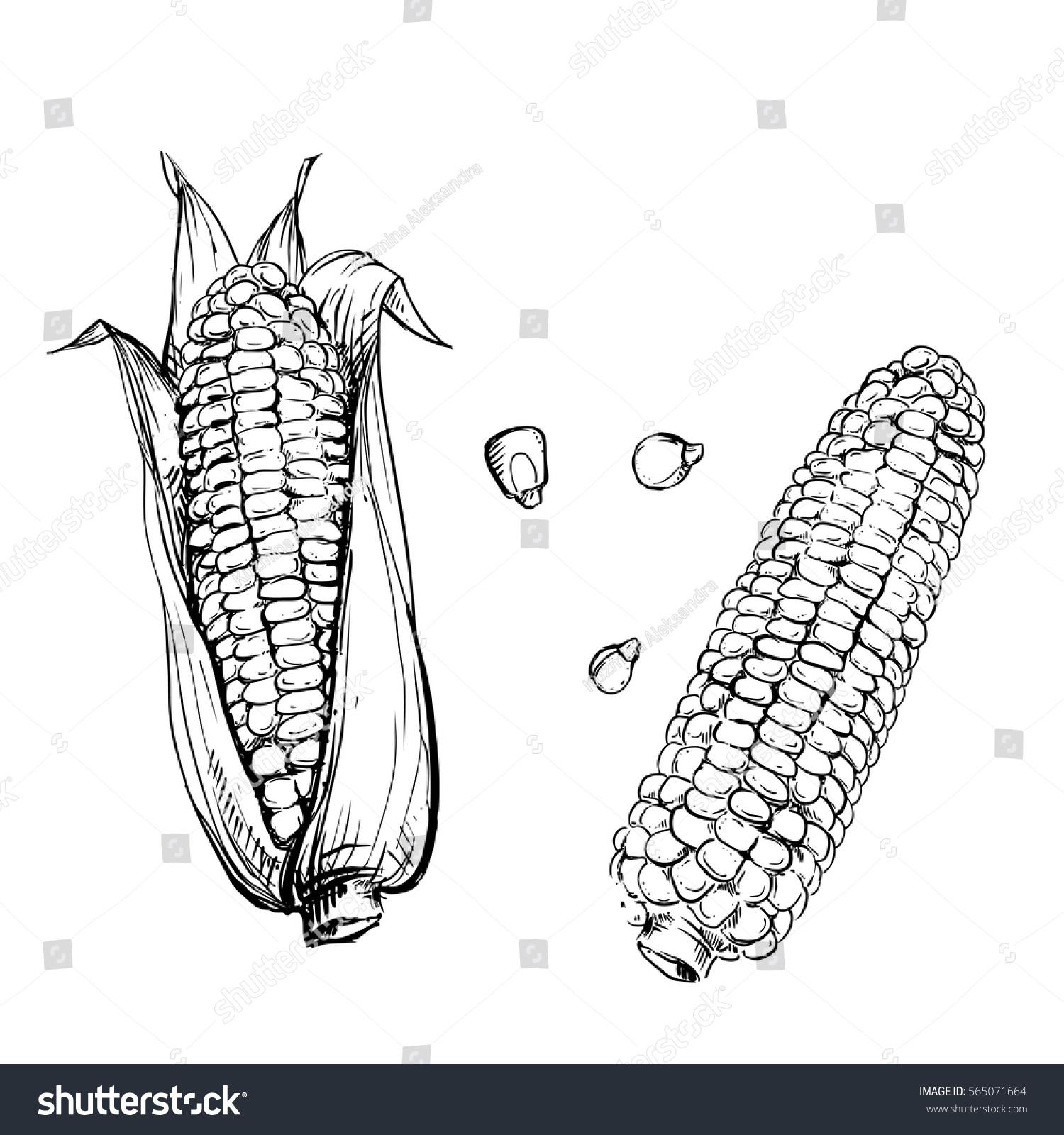 Hand Drawn Vector Illustration Set Corn Stock Vector (Royalty Free ...