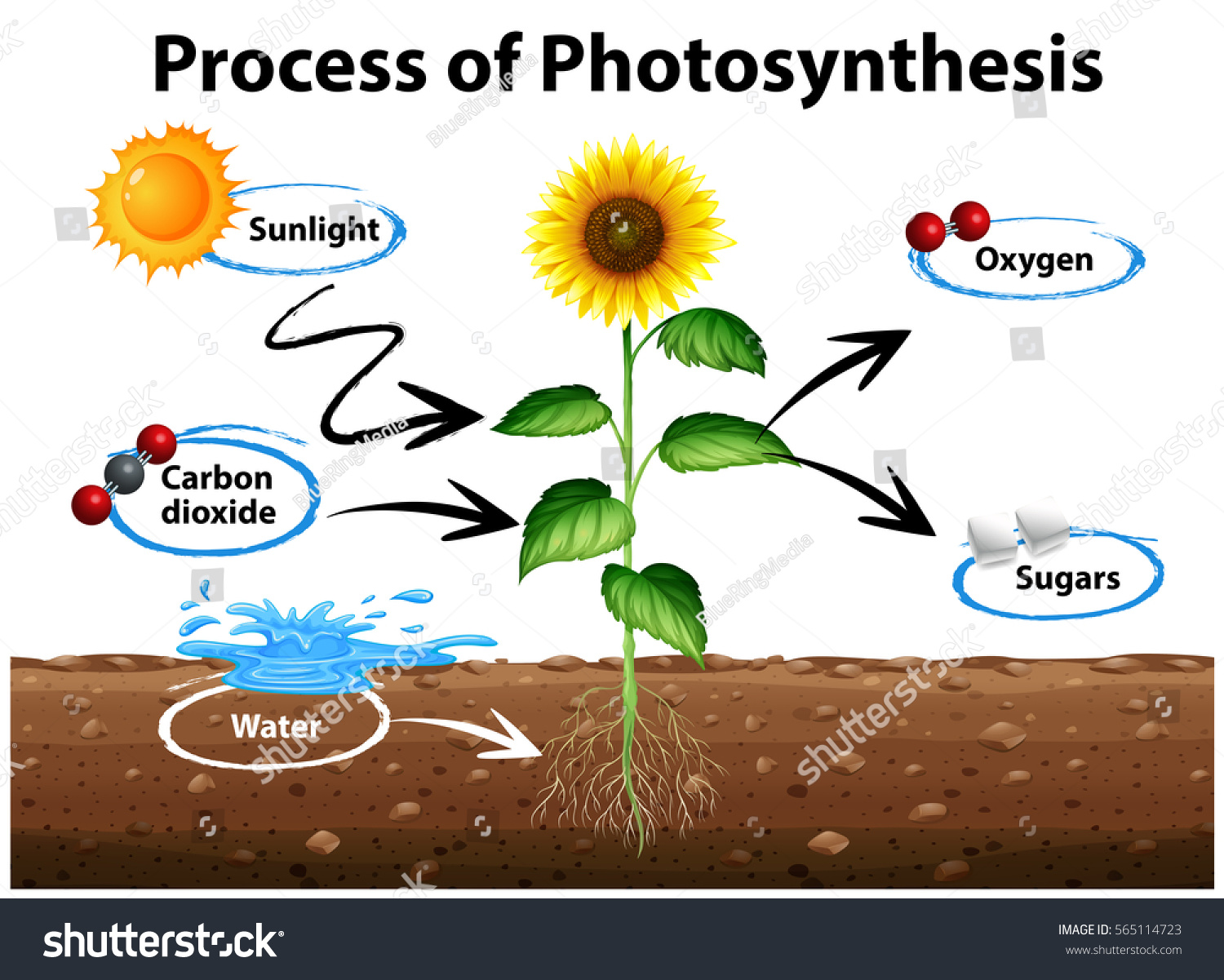 Diagram Showing Sunflower Process Photosynthesis Illustration Stock ...