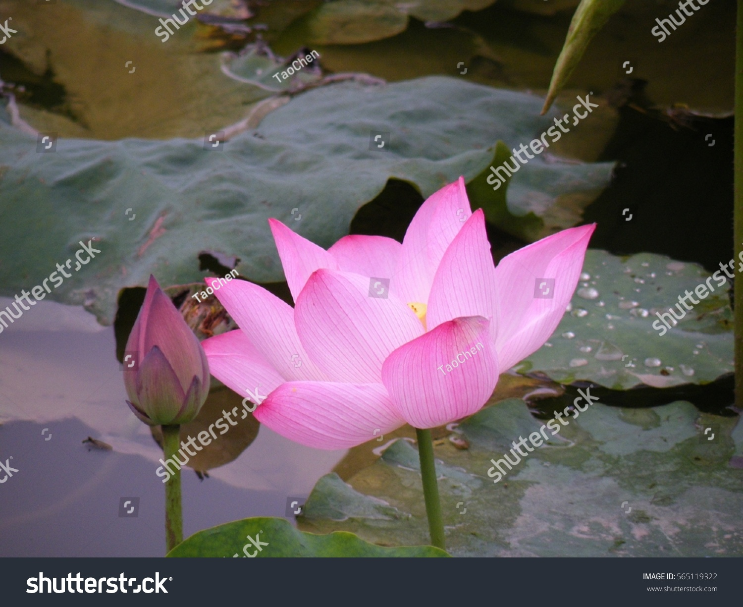 flower vignette added lotus flower beautiful stock photo, Beautiful flower
