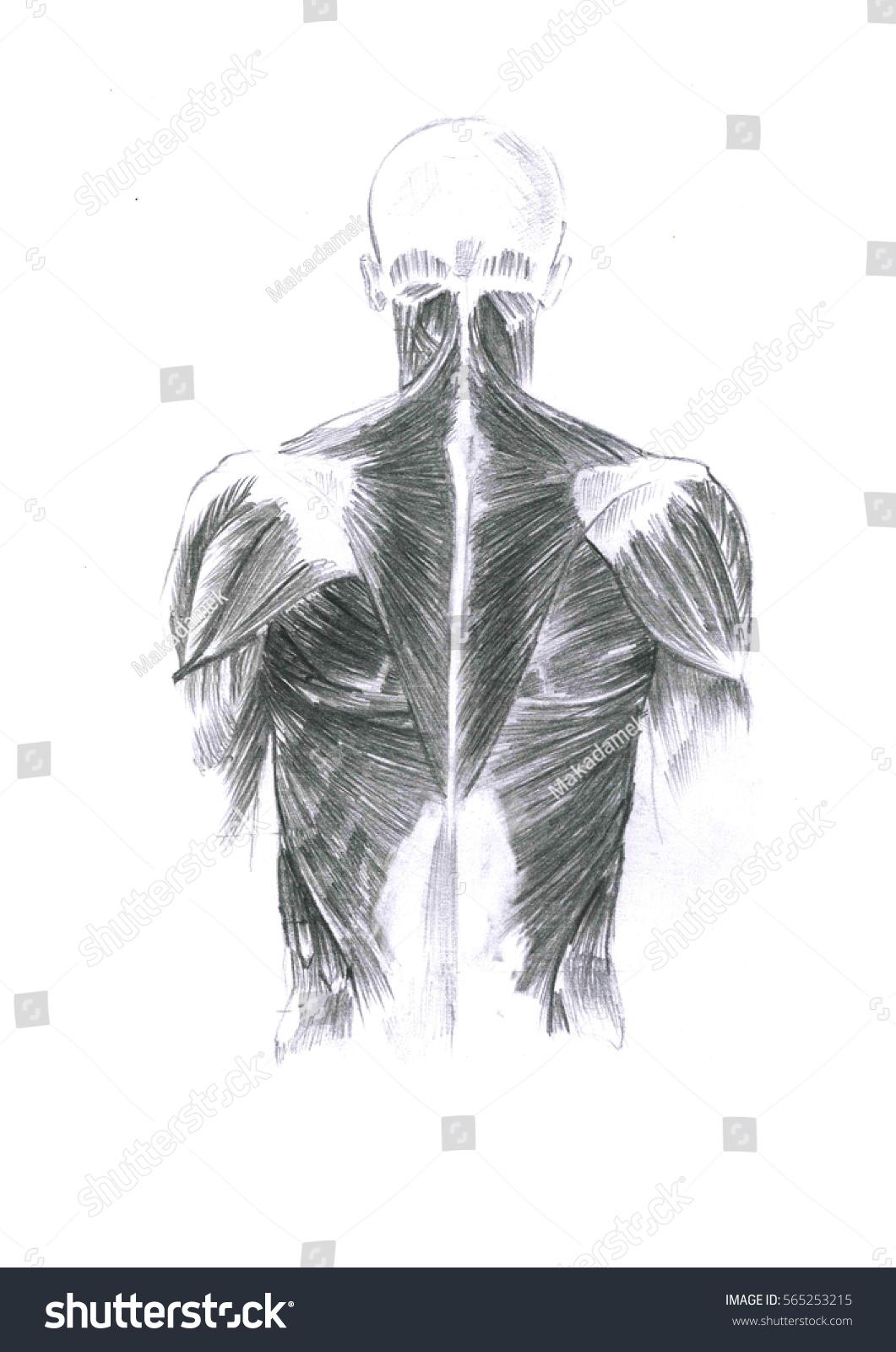 Tis Realistic Sketch Human Body Back Stock Illustration 565253215