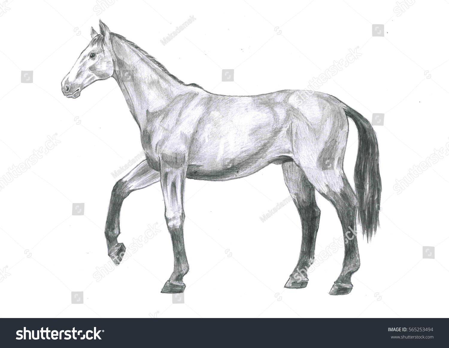 Thi Realistic Sketch Anatomy Horse Sketch Stock Illustration ...