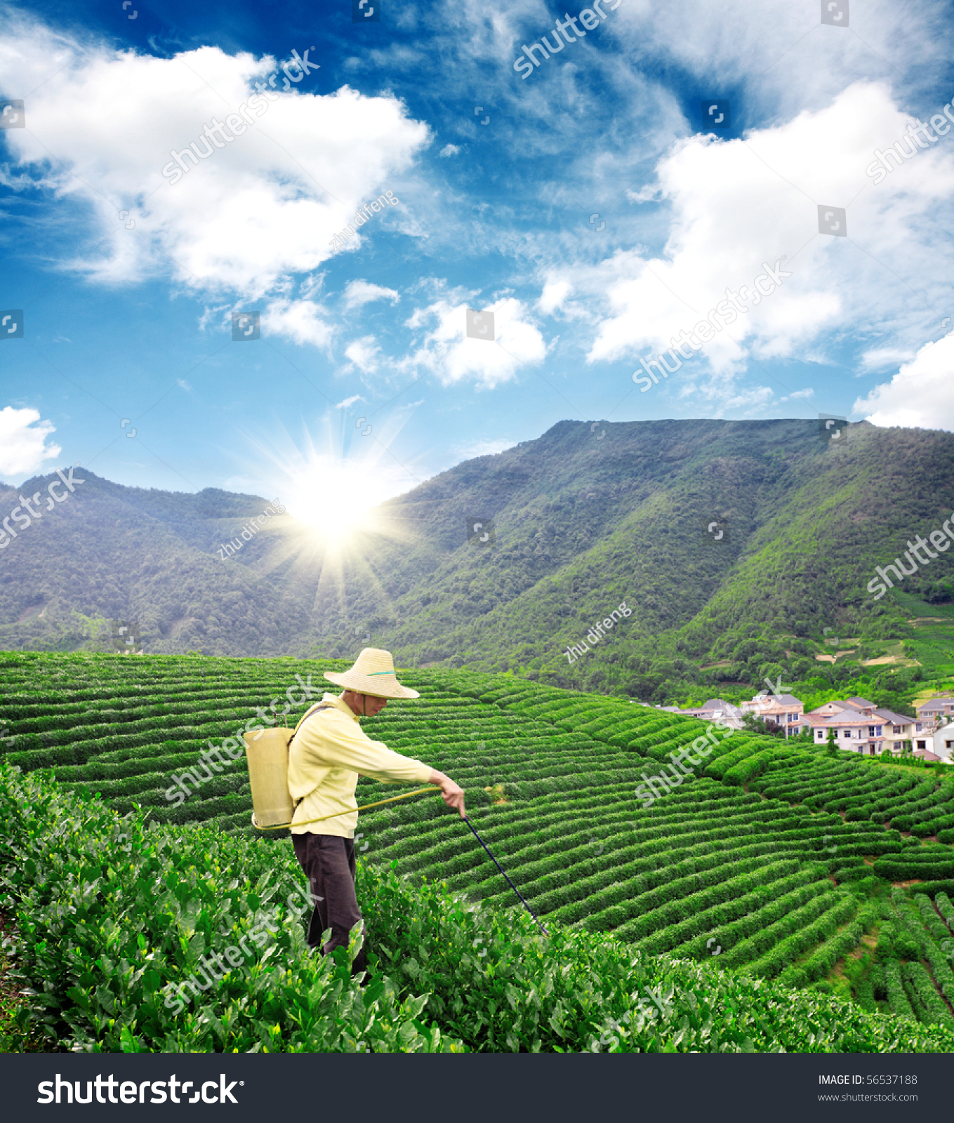 Farmer Spraying Pesticides Tea Garden Stock Photo 56537188