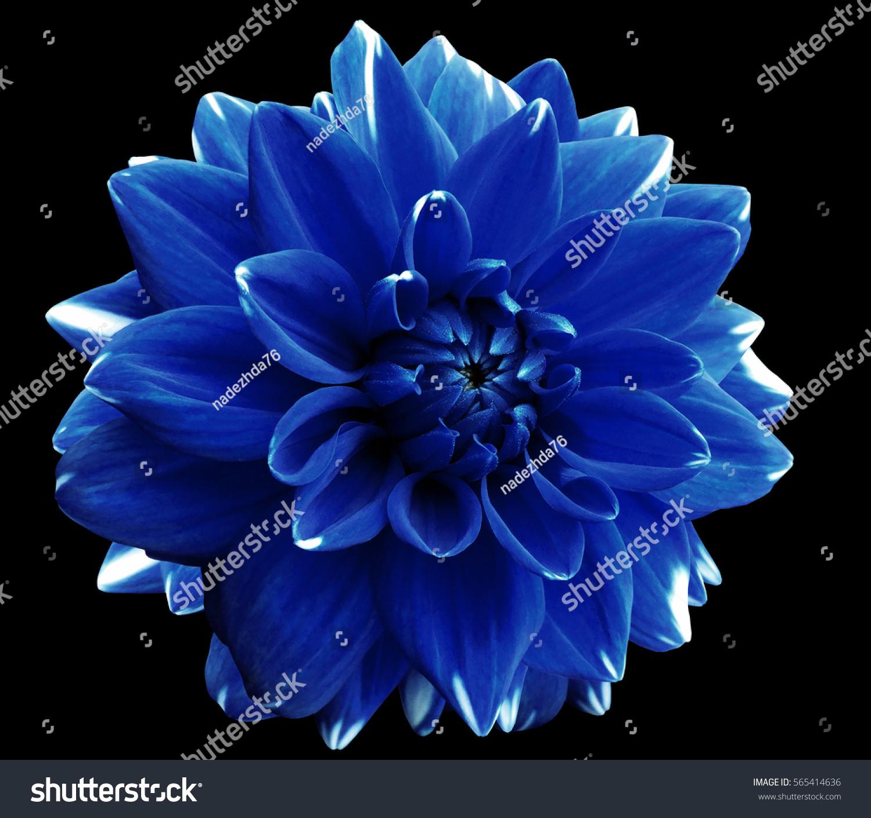 Flower Blue Motley Dahlia Isolated On Stock Photo Edit Now
