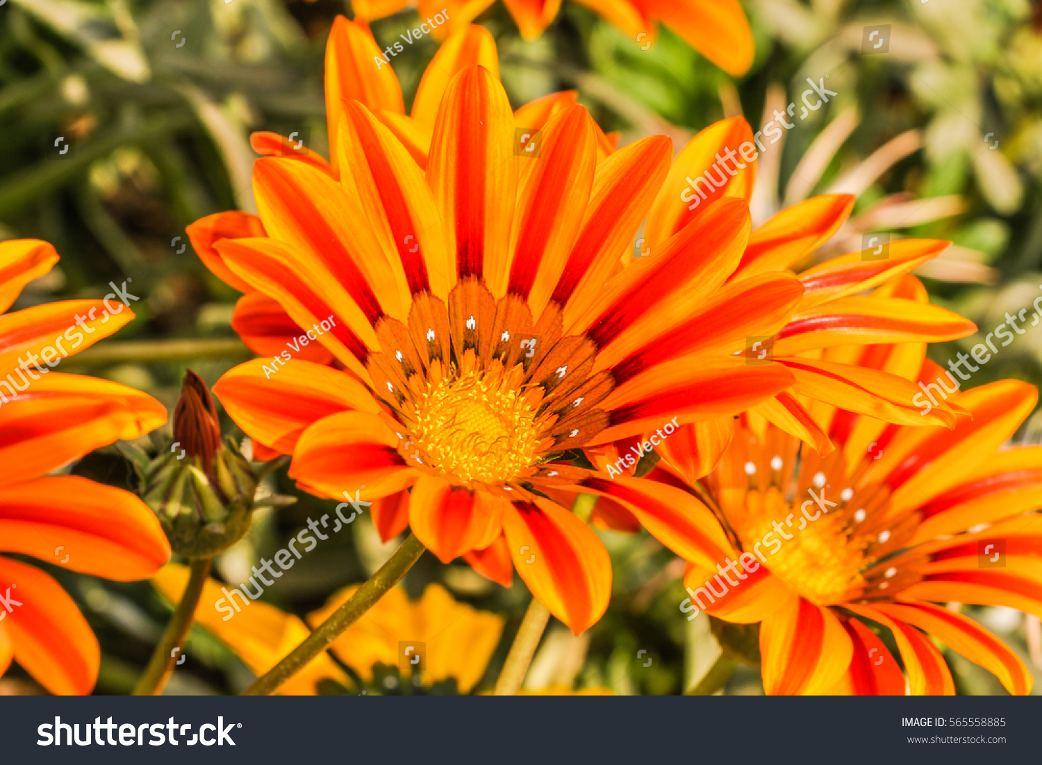 Beautiful Flower Color Daisy Garden Stock Photo Edit Now 565558885