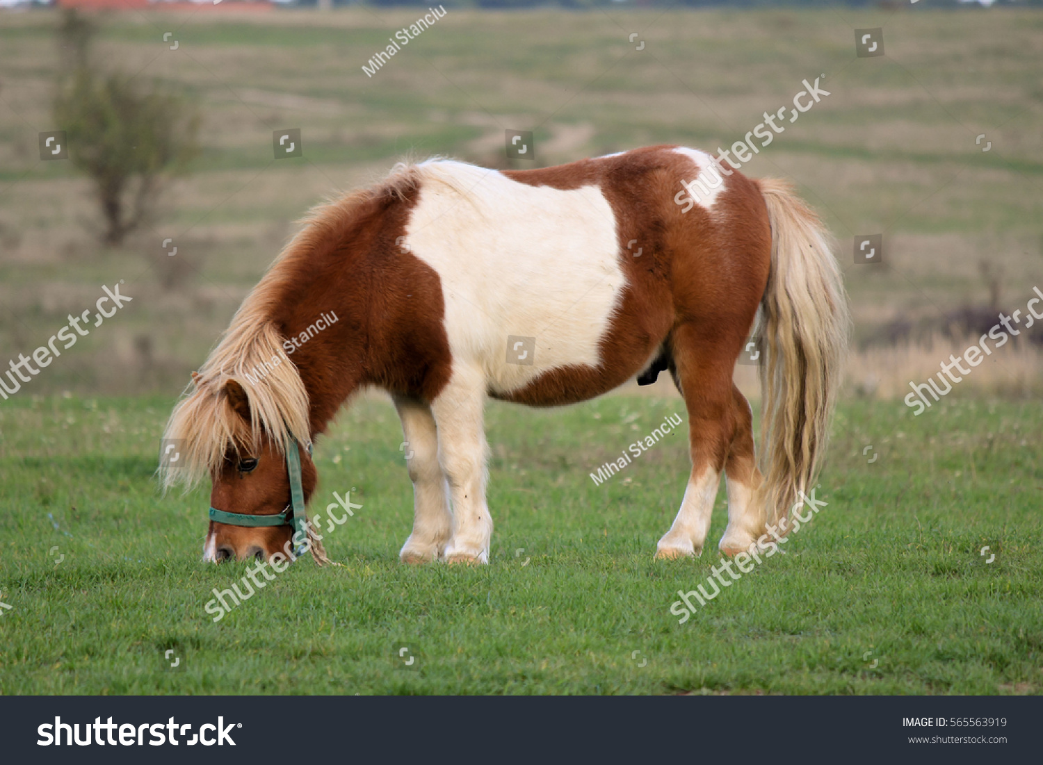 Uncategorized Picture Of A Pony portrait pony photo shoot attitude stock 565563919 of a with an shot in