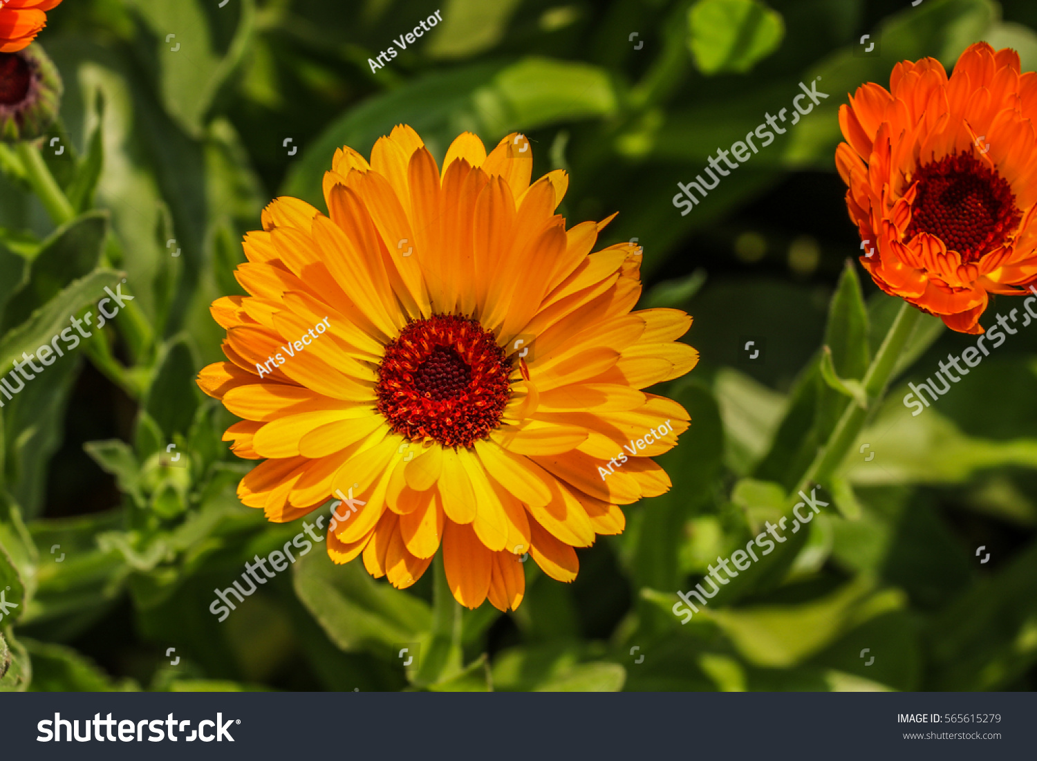 Beautiful Flower Color Daisy In Garden Ez Canvas