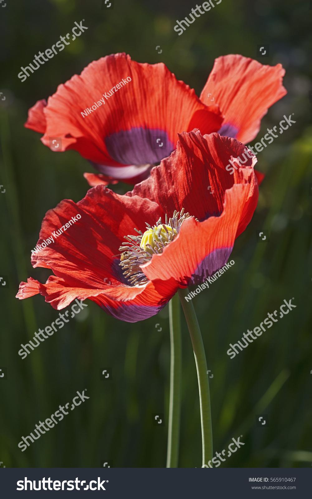 Opium Poppy Papaver Somniferum Called Garden Stock Photo Edit Now