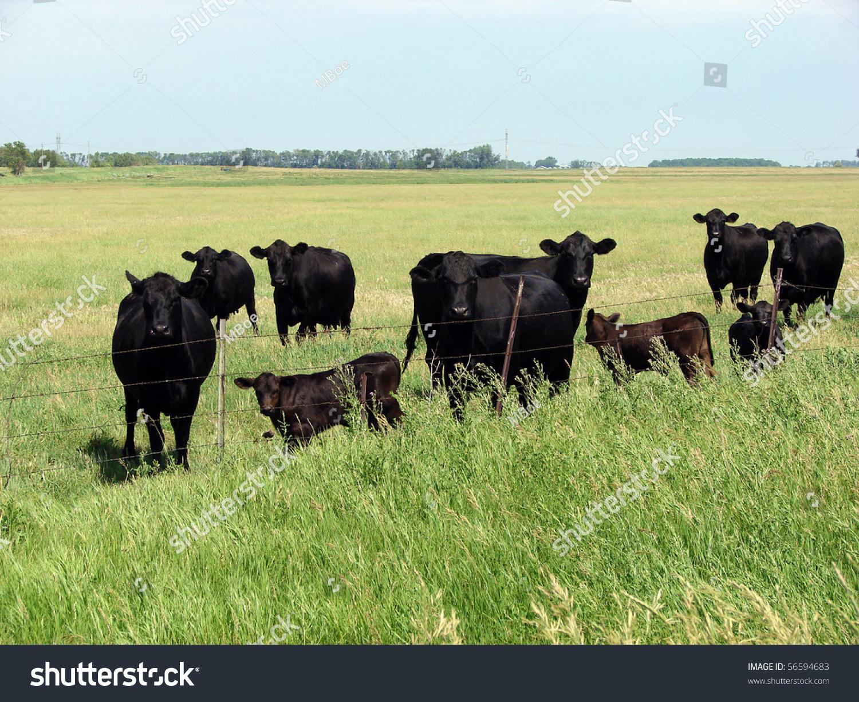 Black Angus Beef Cattle Stock Photo 56594683 - Shutterstock