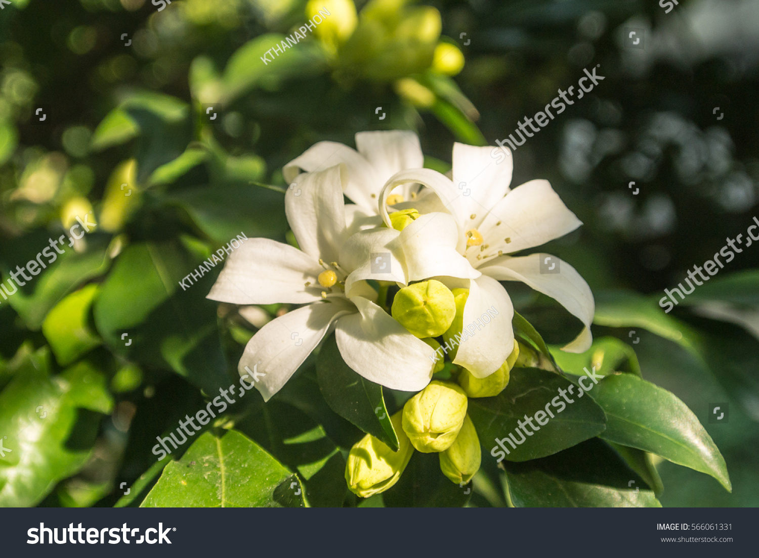 Murraya Paniculata Is A Tropical Evergreen Plant Bearing Small
