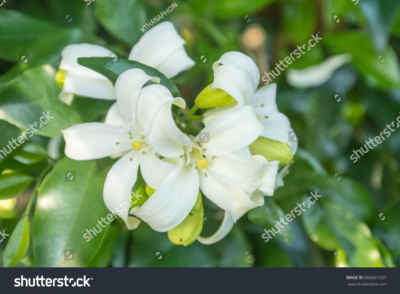 Murraya Paniculata Is A Tropical Evergreen Plant Bearing Small