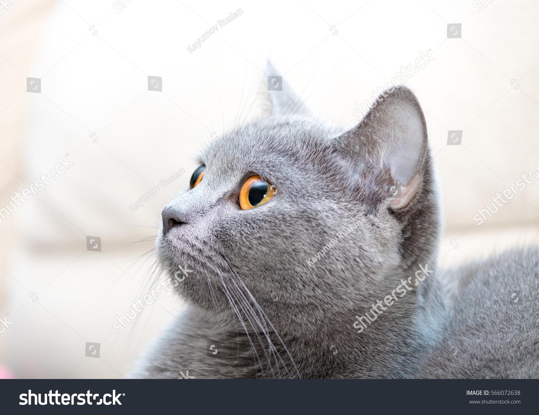 Cat Scottish Straight Breed Orange Eyes Stock