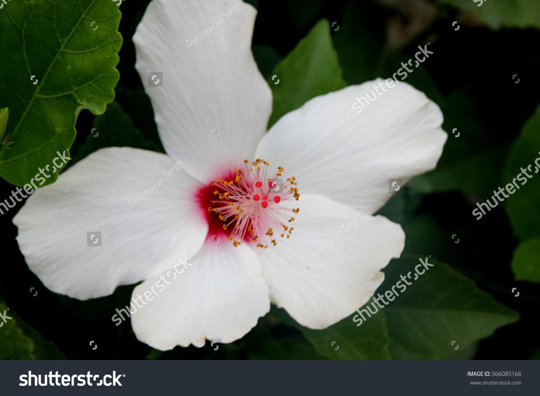 Hibiscus Rosasinensis China Rose Evergreen Shrub Stock Photo Edit