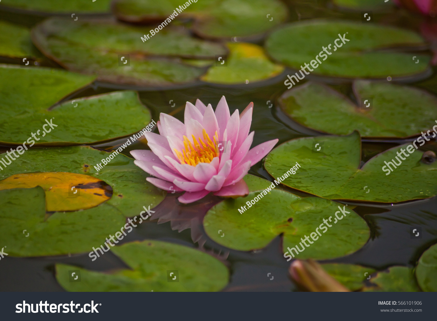 Single pink lotus or water lily flowers at the gardens ez canvas id 566101906 izmirmasajfo