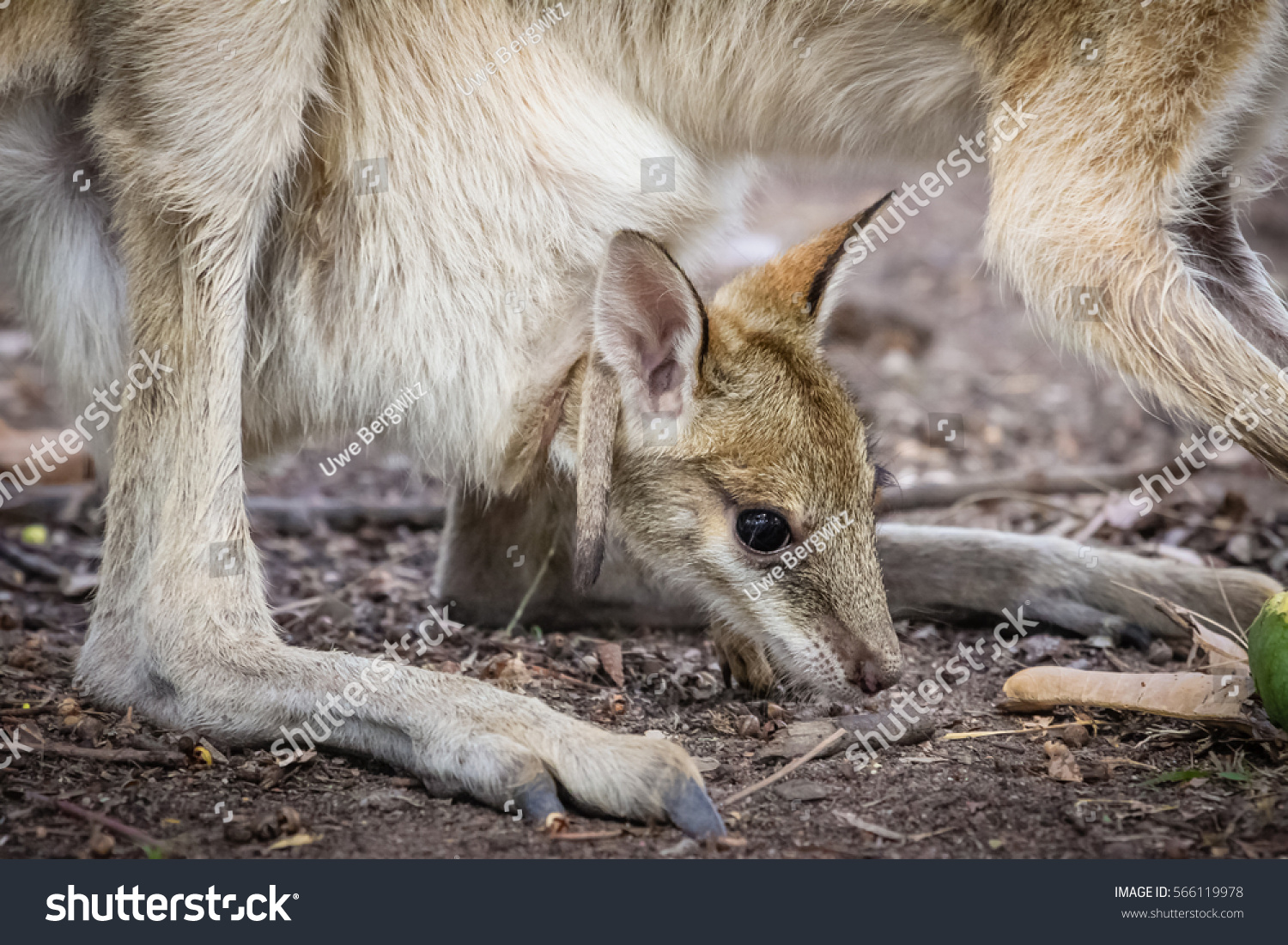 Close Agile Wallaby Baby Called Joey Stock Photo (Edit Now